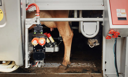 A cow getting milked by a machine